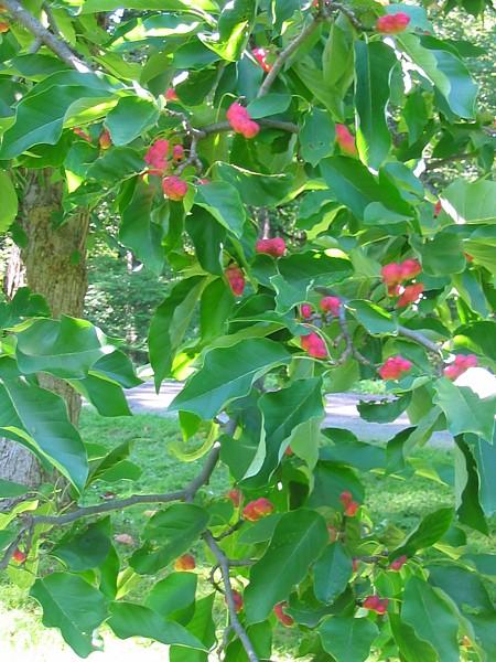 Gurken-Magnolie (Magnolia acuminata)