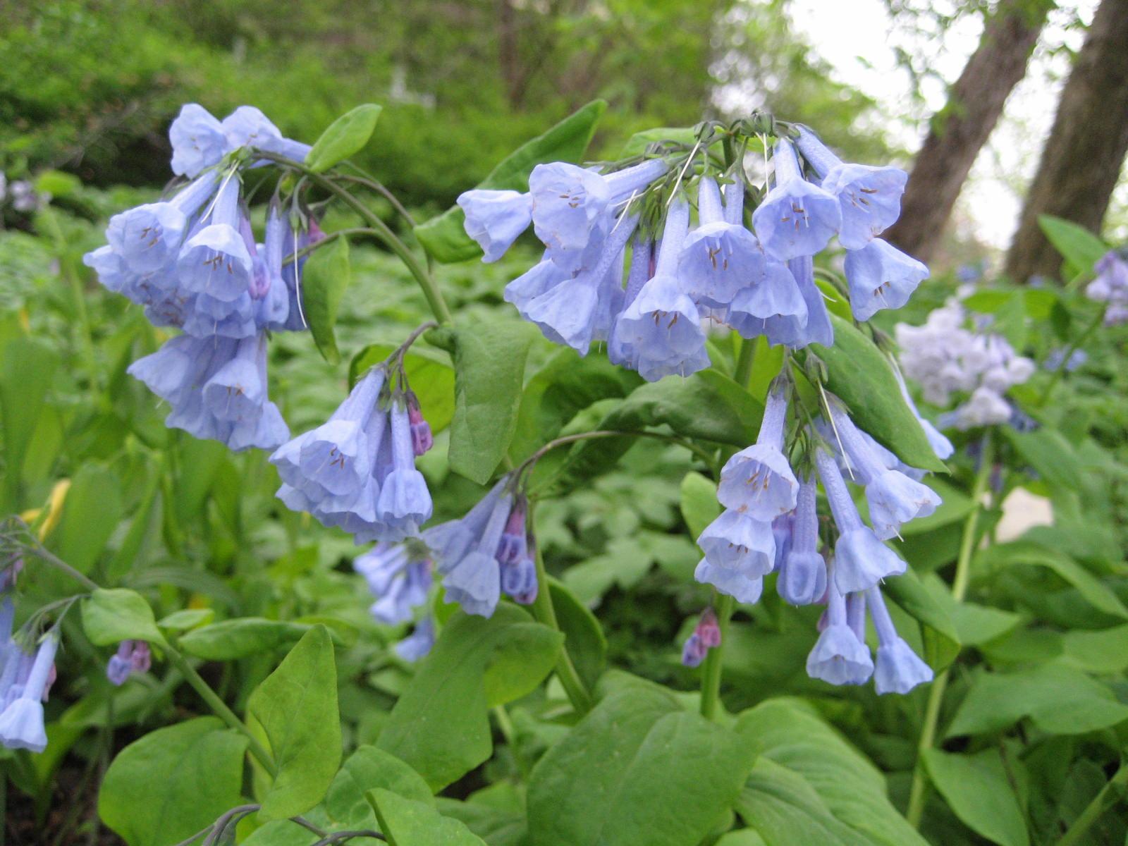 File:Mertensia virginica (Flower).jpg - Wikimedia Commons