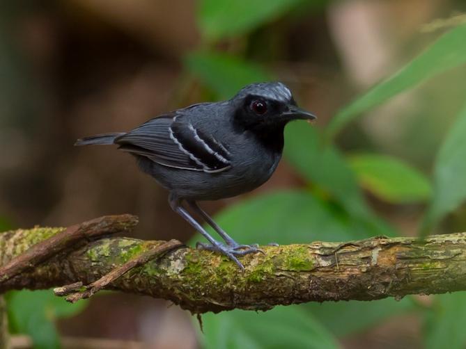 Black Faced Antbird