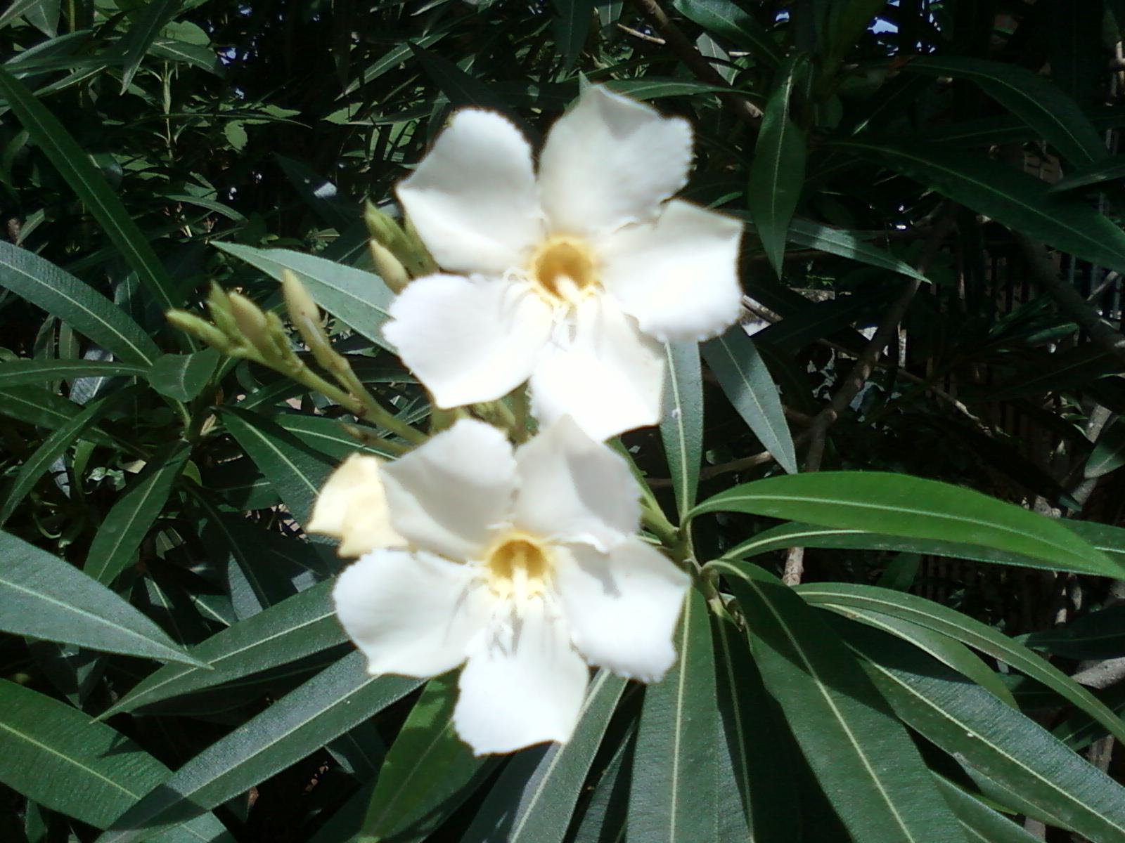 Filenerium Oleander White Flowers At Guntur 1g Wikimedia Commons
