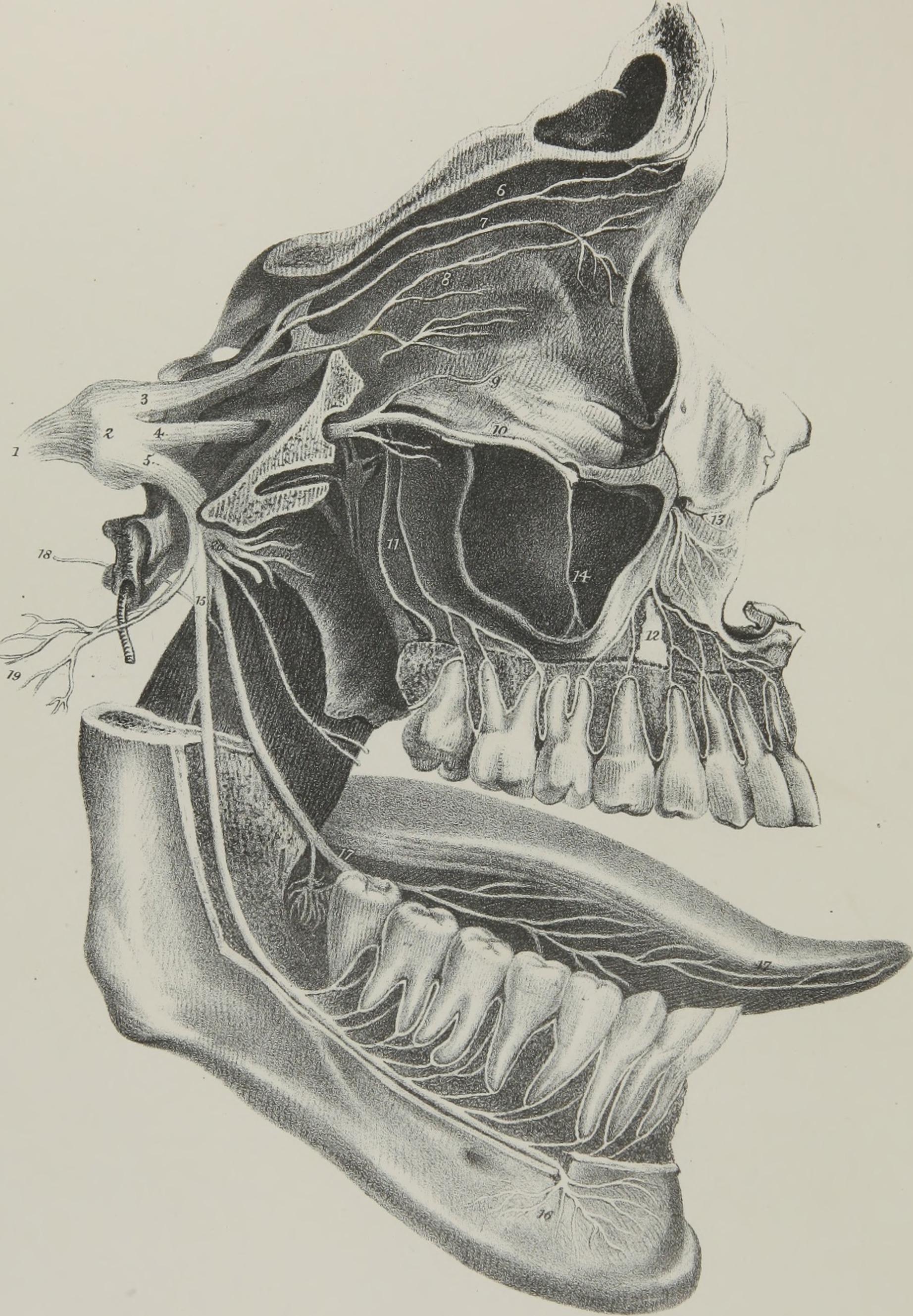 File:Nervus trigeminus;The anatomy, physiology and pathology of the ...