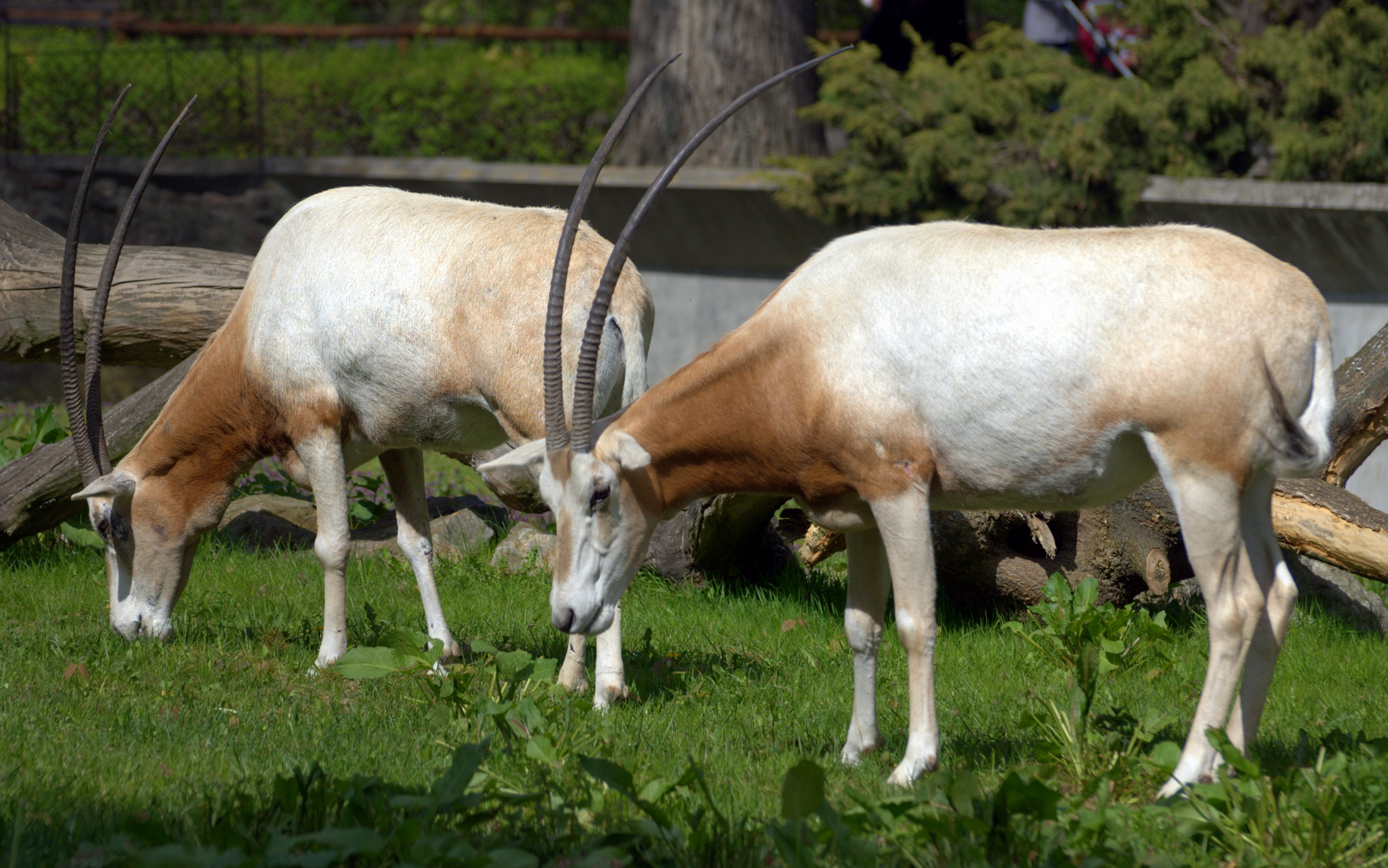 scimitar oryx fight must see!!!