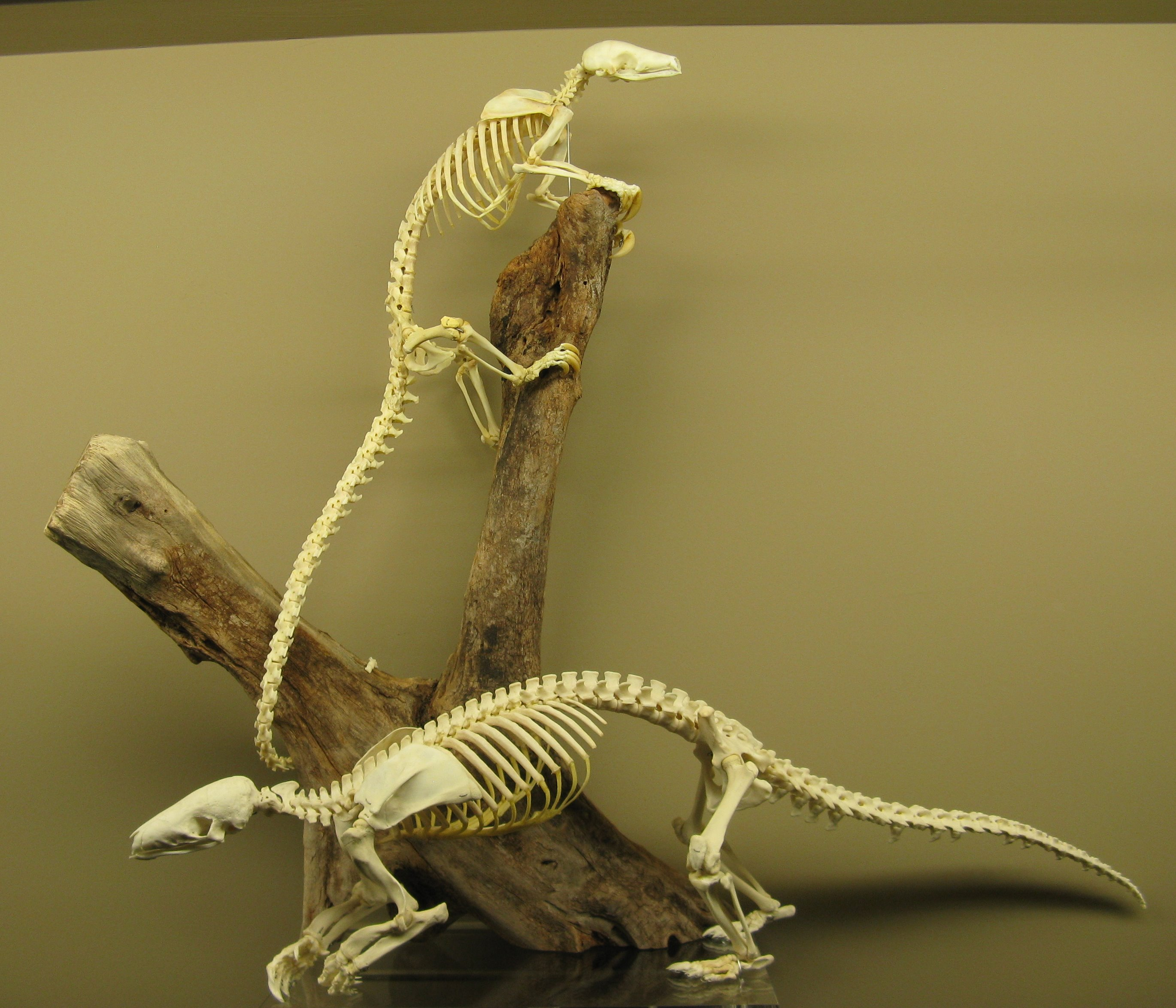 Tree Pangolin and Chinese Pangolin skeletons on exhibit at The Museum of Osteology.