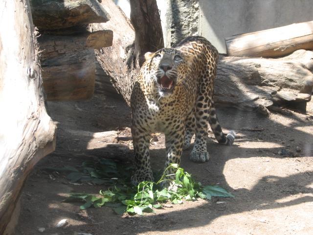 Ficheiro:Panthera.pardus.kotiya4-ZOO.Jihlava.jpg