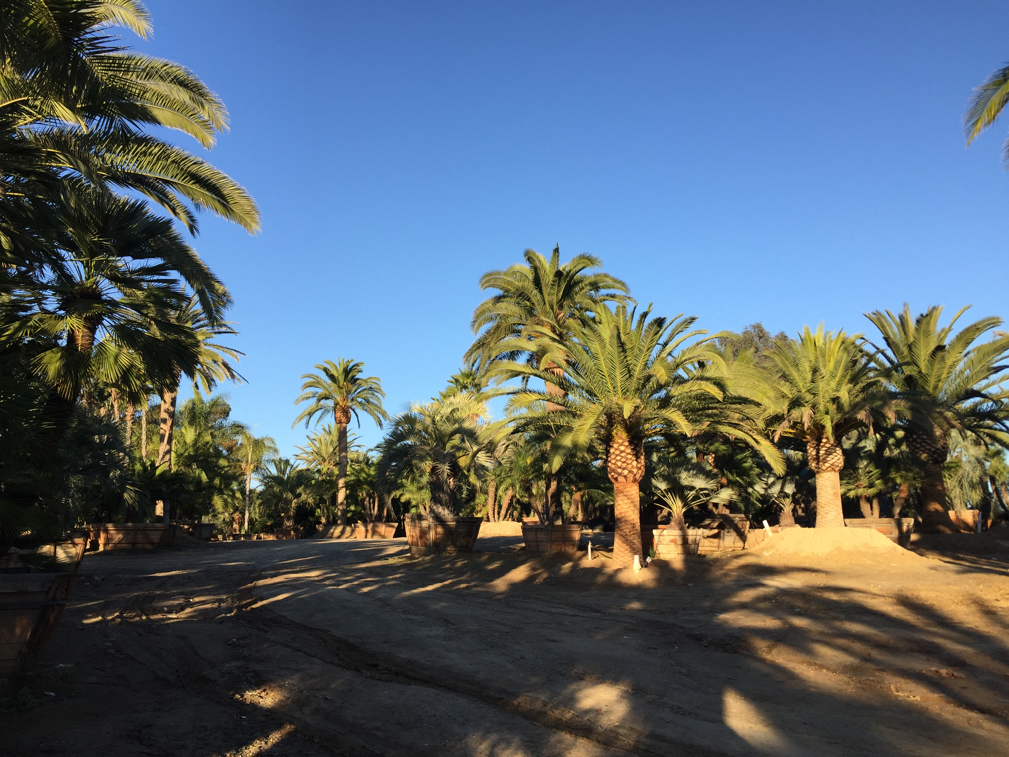 File Phoenix Canariensis Canary Island Date Palms At South Coast Whole Nursery Jpg