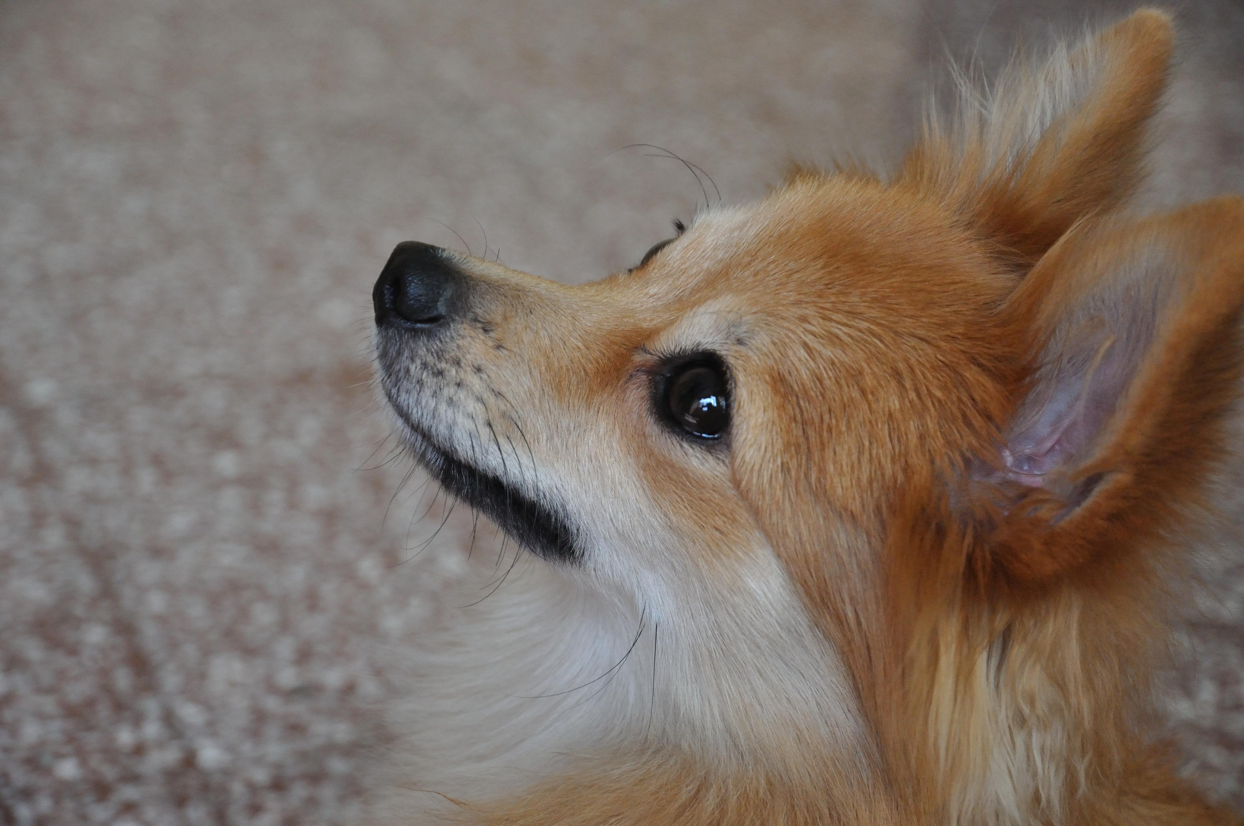File:Pomeranian Dog - Kolkata 2011-10-31 6415.JPG ... Pomeranian Wiki