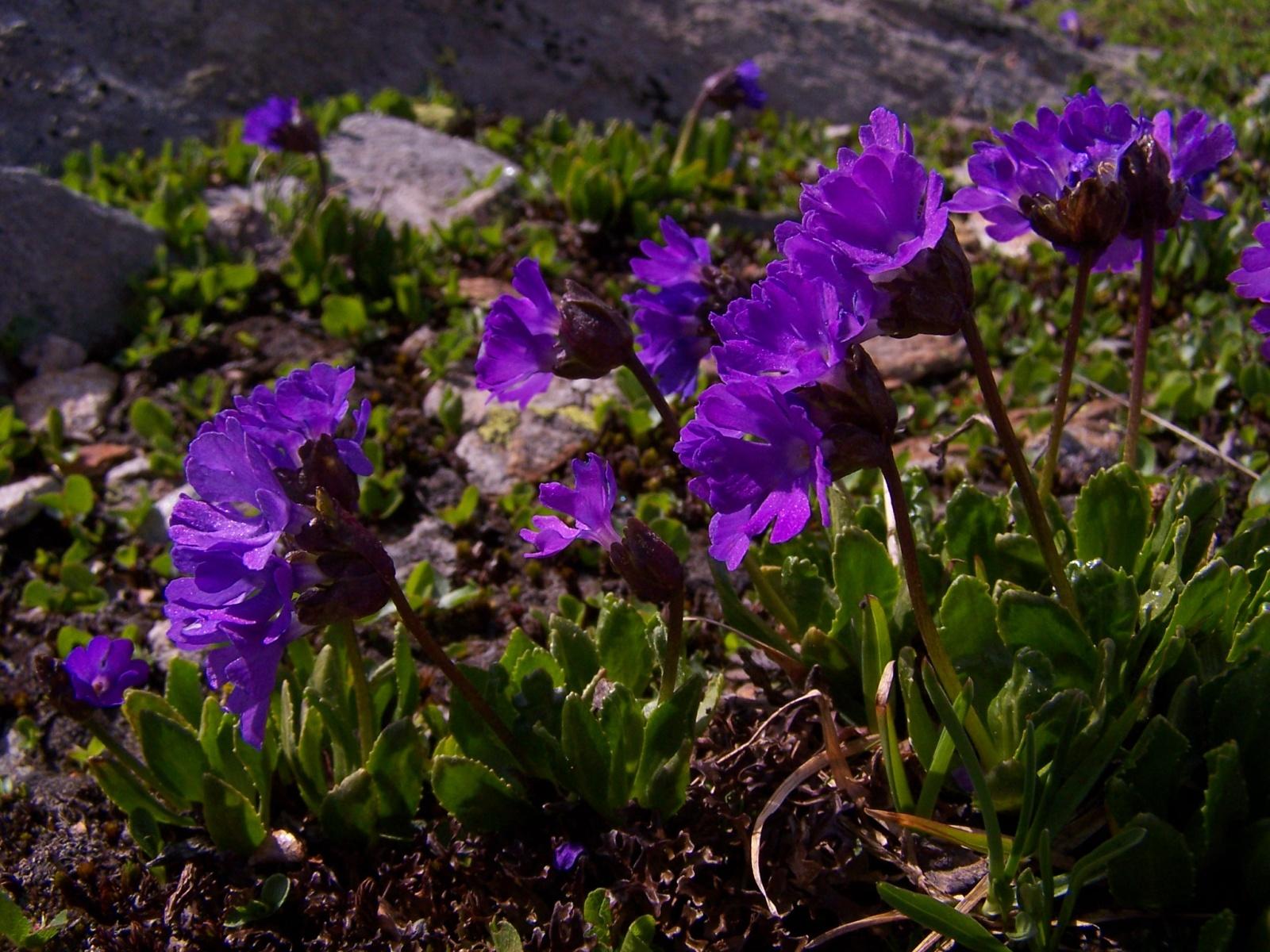 File:Primula glutinosa.jpg - Wikimedia Commons
