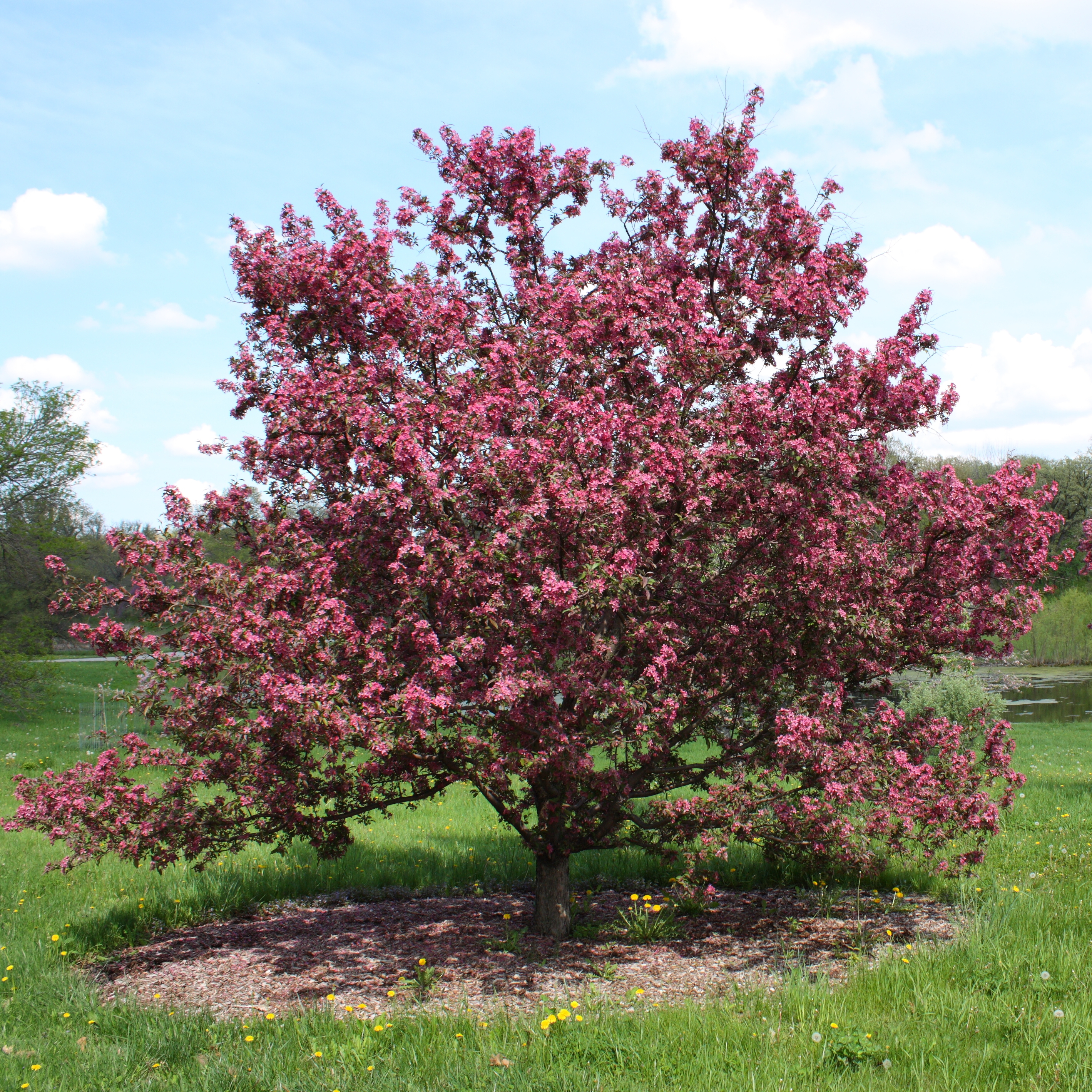 Purple prince crabapple tree