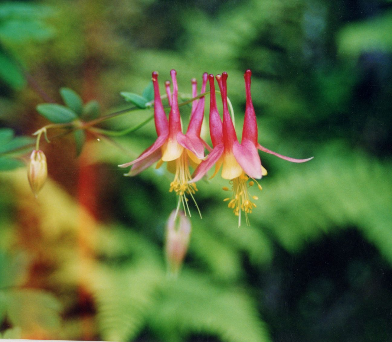Filered columbine acquilegia canadensisg wikipedia filered columbine acquilegia canadensisg izmirmasajfo