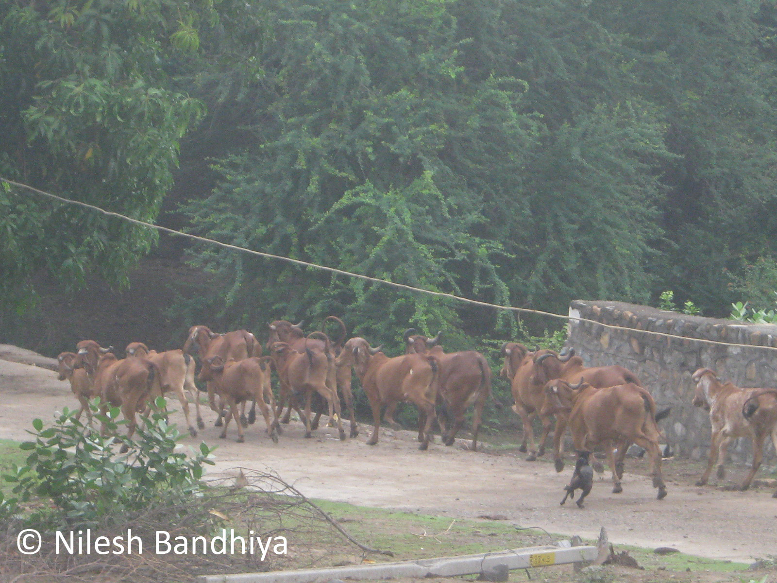 File:Running Cow at Girnar.jpg - Wikimedia Commons