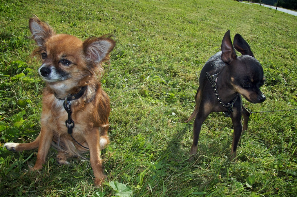 Russian Toy Terrier Dog Breed & Information