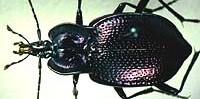 Cychrini Tribe of beetles
