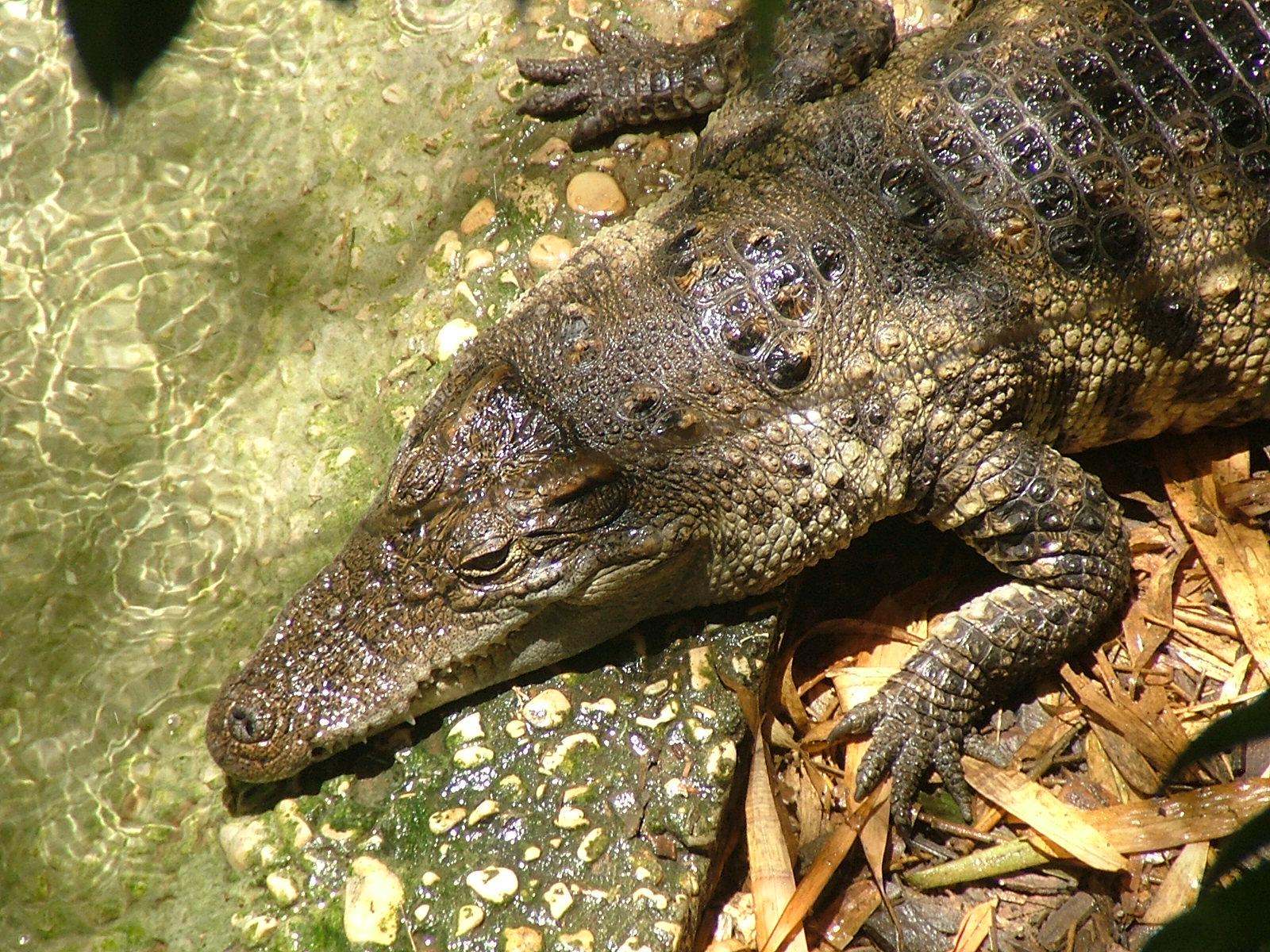 file siamese crocodile biblical zoo jpg   wikimedia commons