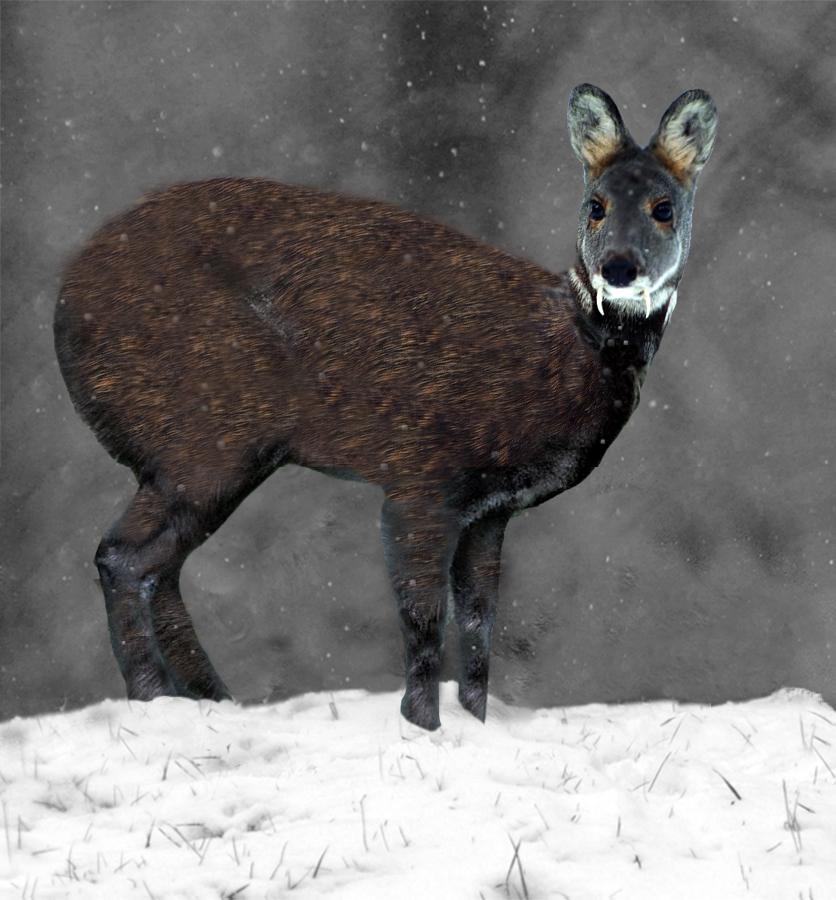 Minden Pictures stock photos - Sichuan sika deer (Cervus nippon ...