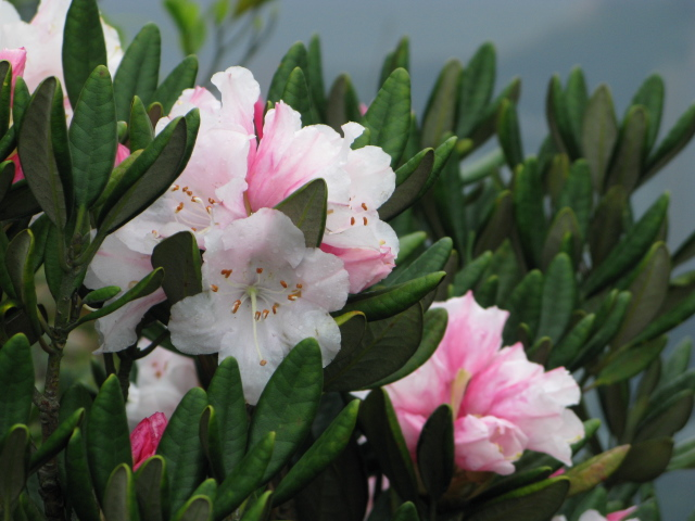 File:South China Rhododendron on Ma On Shan.JPG