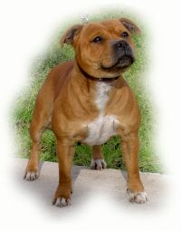 Staffordshire Bull Terrier - Dog Scanner