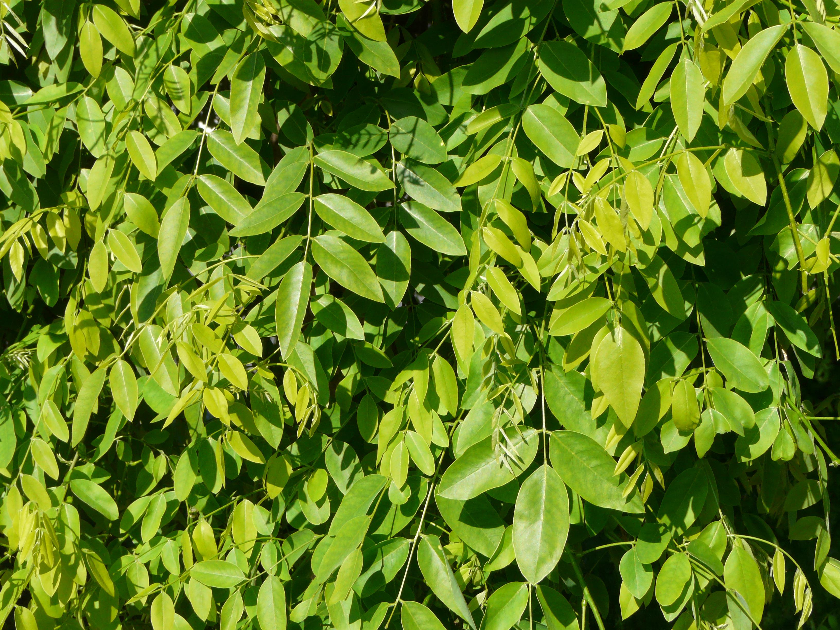 File Styphnolobium Japonicum Pendulum P 233 Rigueux Feuillage