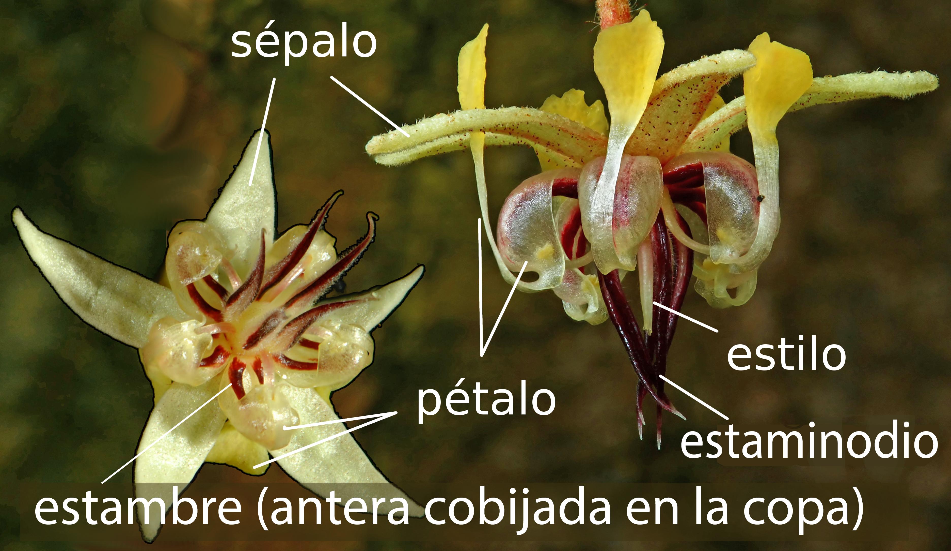 Filetheobroma cacao flower spanish labelsg wikimedia commons filetheobroma cacao flower spanish labelsg izmirmasajfo Image collections