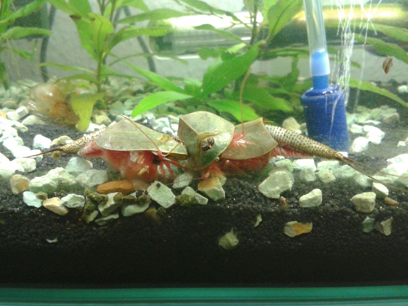 Triops_Longicaudatus Frais De Aquarium Tropical Schème