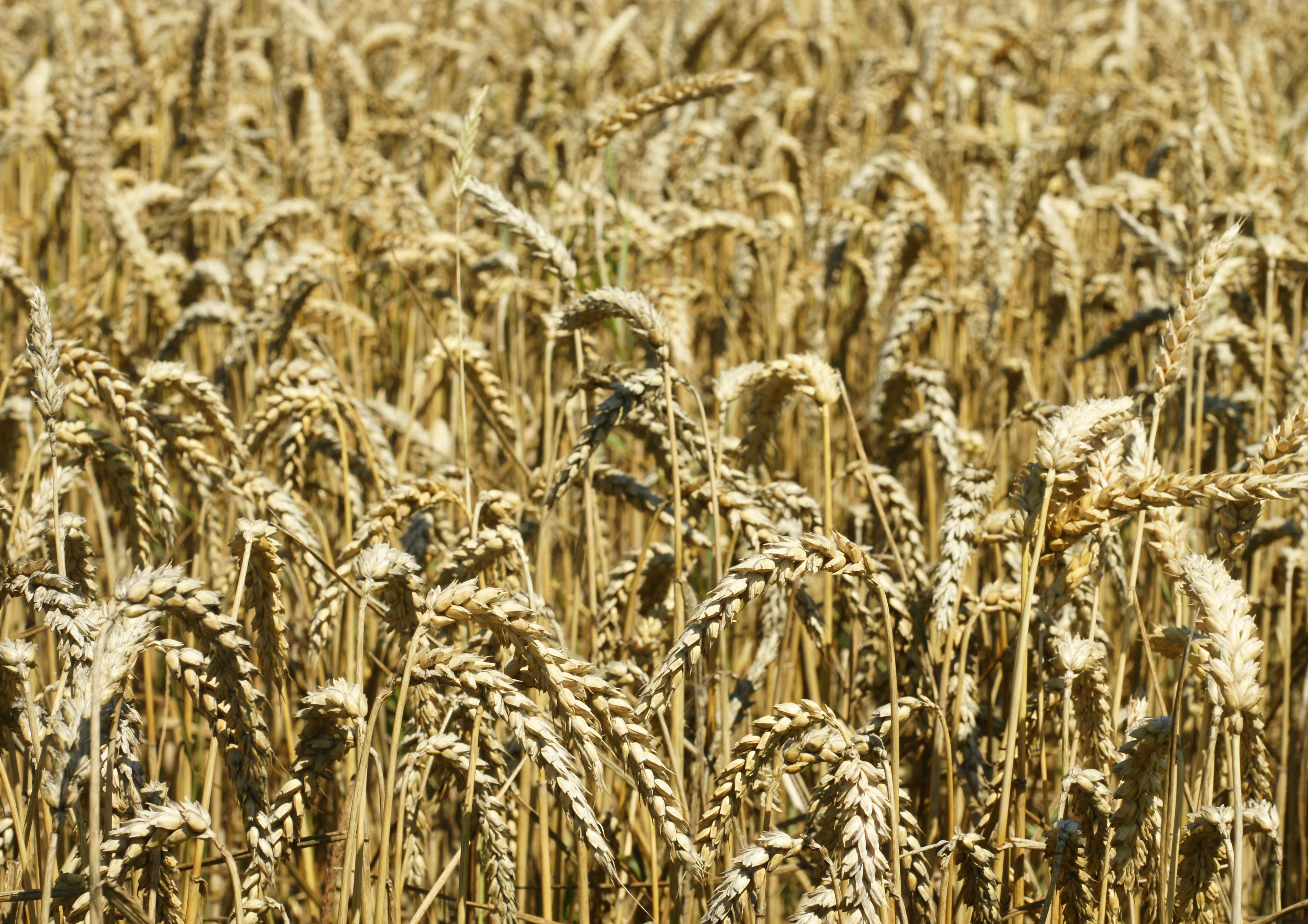 Risultati immagini per farina di cereali