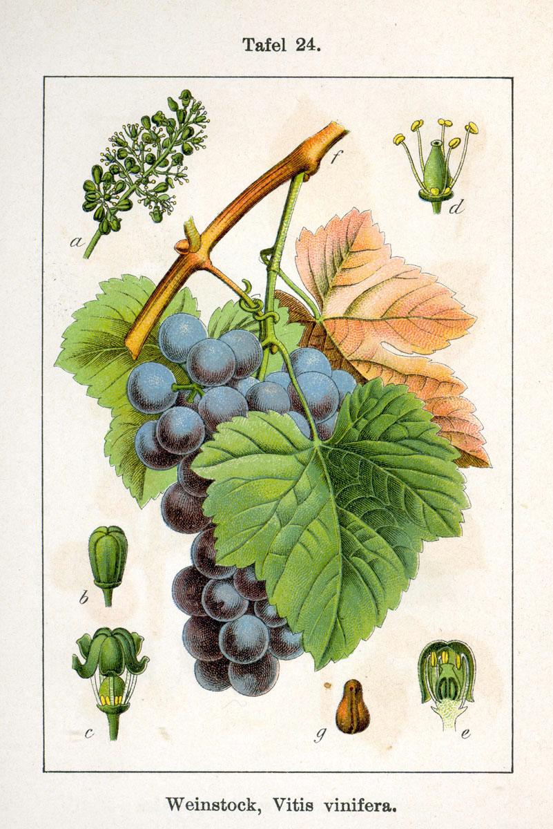 File vitis vinifera sturm07024 jpg wikimedia commons