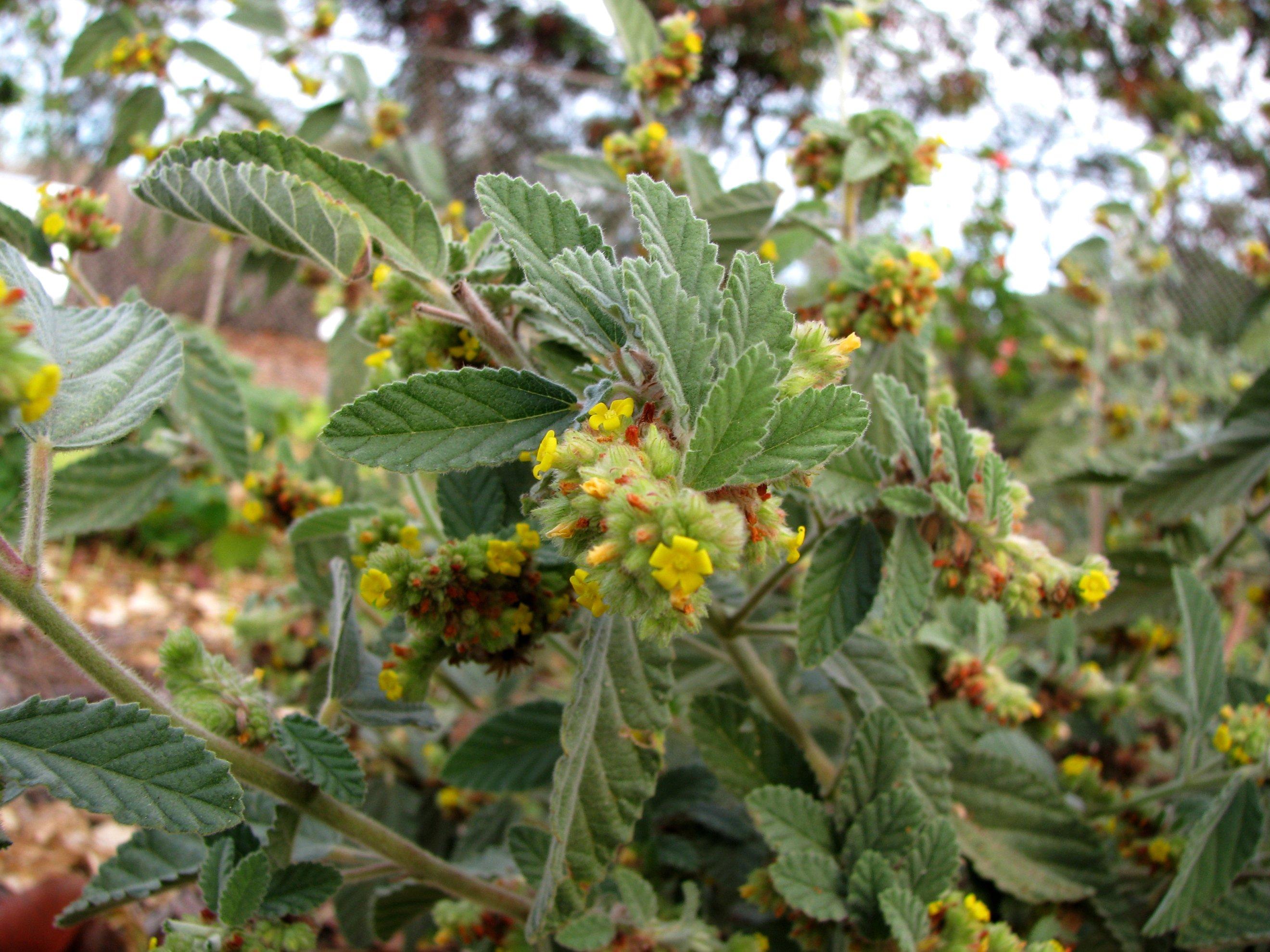 Kết quả hình ảnh cho Waltheria americana L. (W.indica L.)