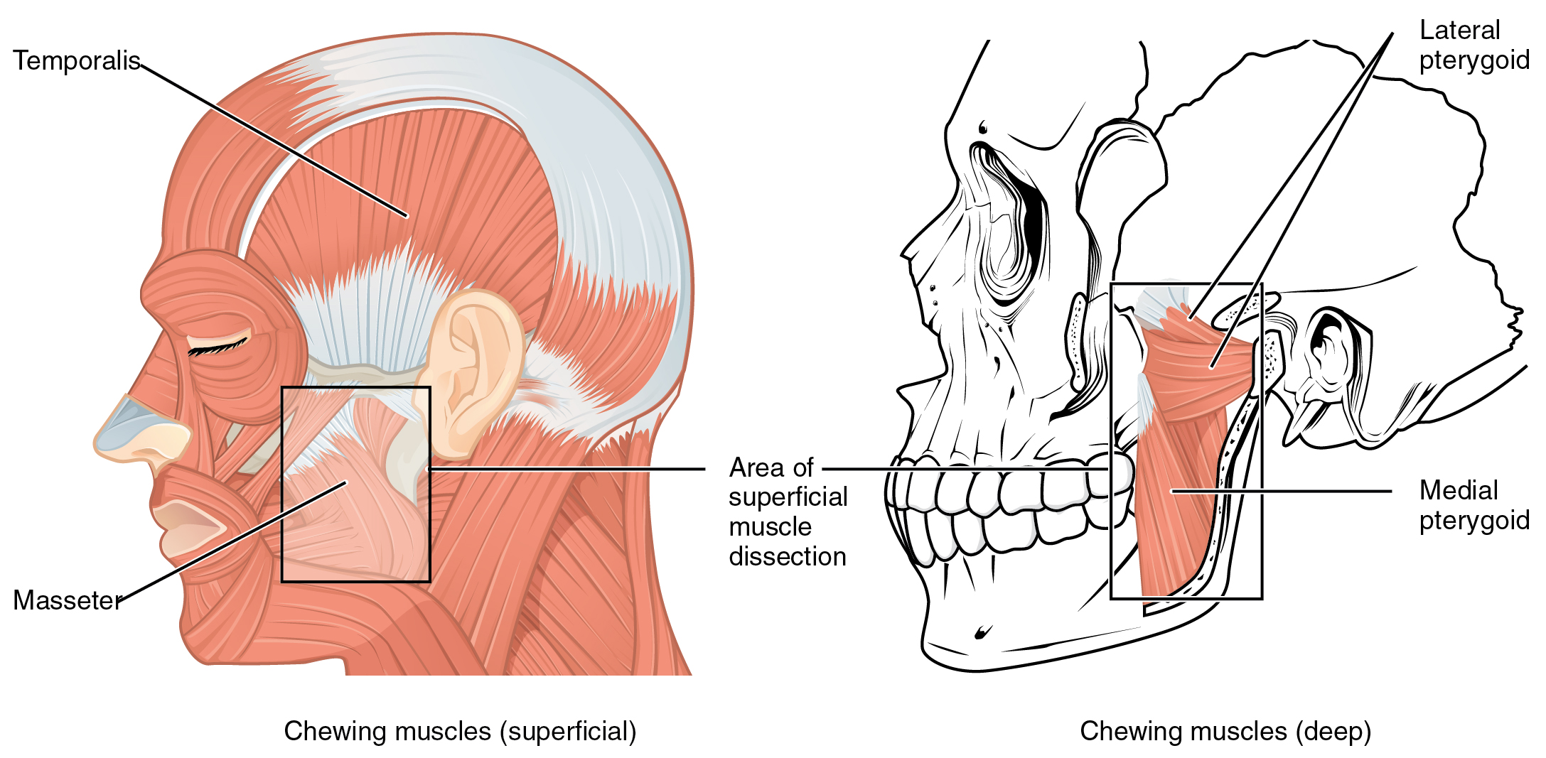 File:1108 Muscle that Move the Lower Jaw.jpg - Wikimedia Commons