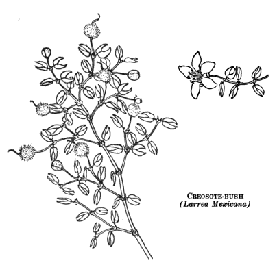 creosote bush drawing