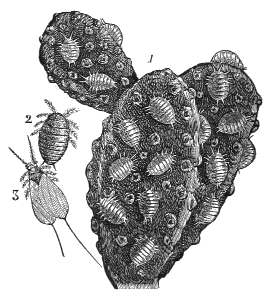 AGTM D116 Cochineal insects on a cactus branch.png