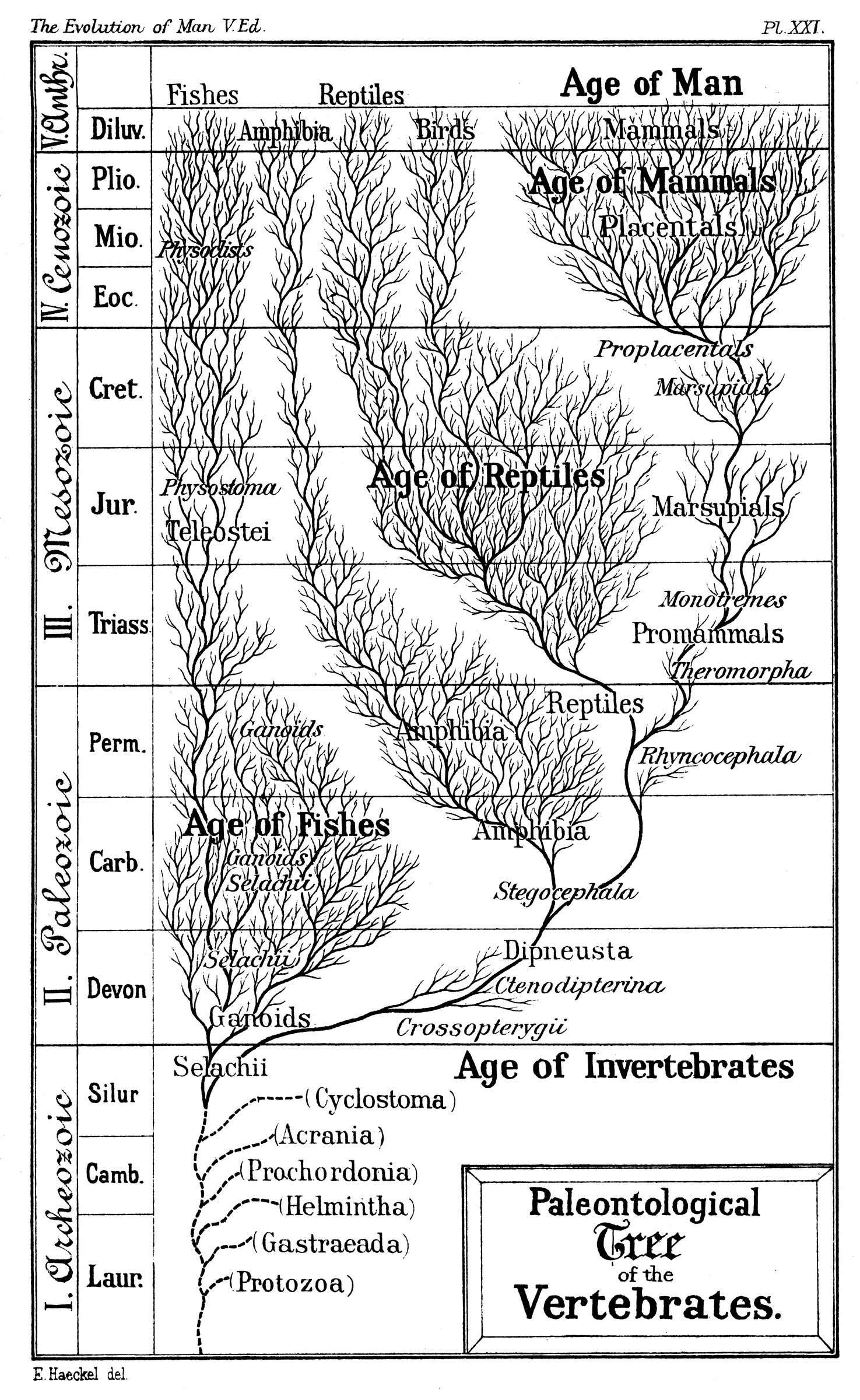Haeckel's Paleontological Tree