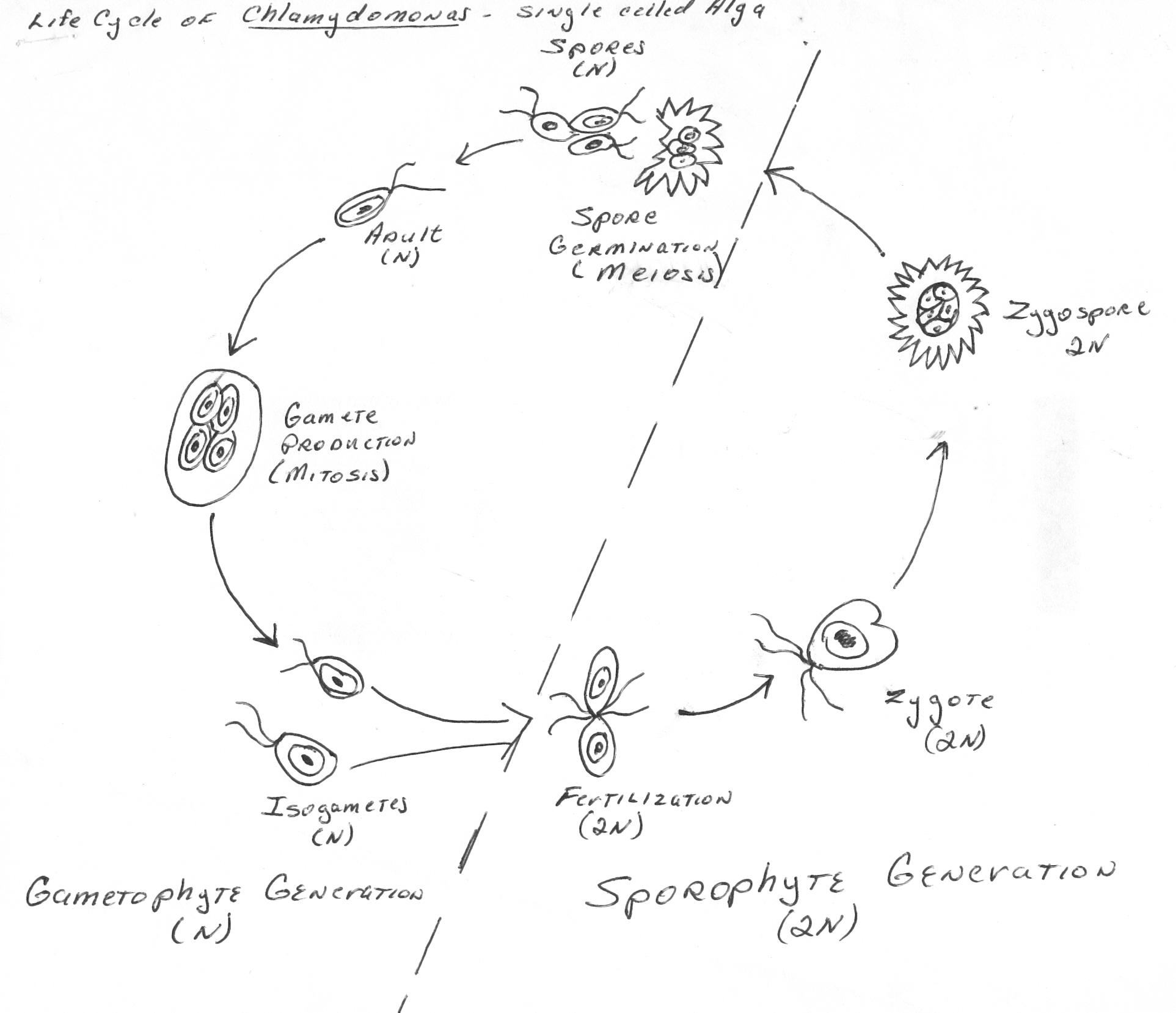 File:Alga Life Cycle.jpg - Wikimedia Commons