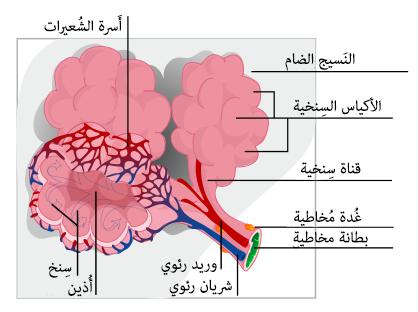 File:Alveolus diagram-ar.png - Wikimedia Commons