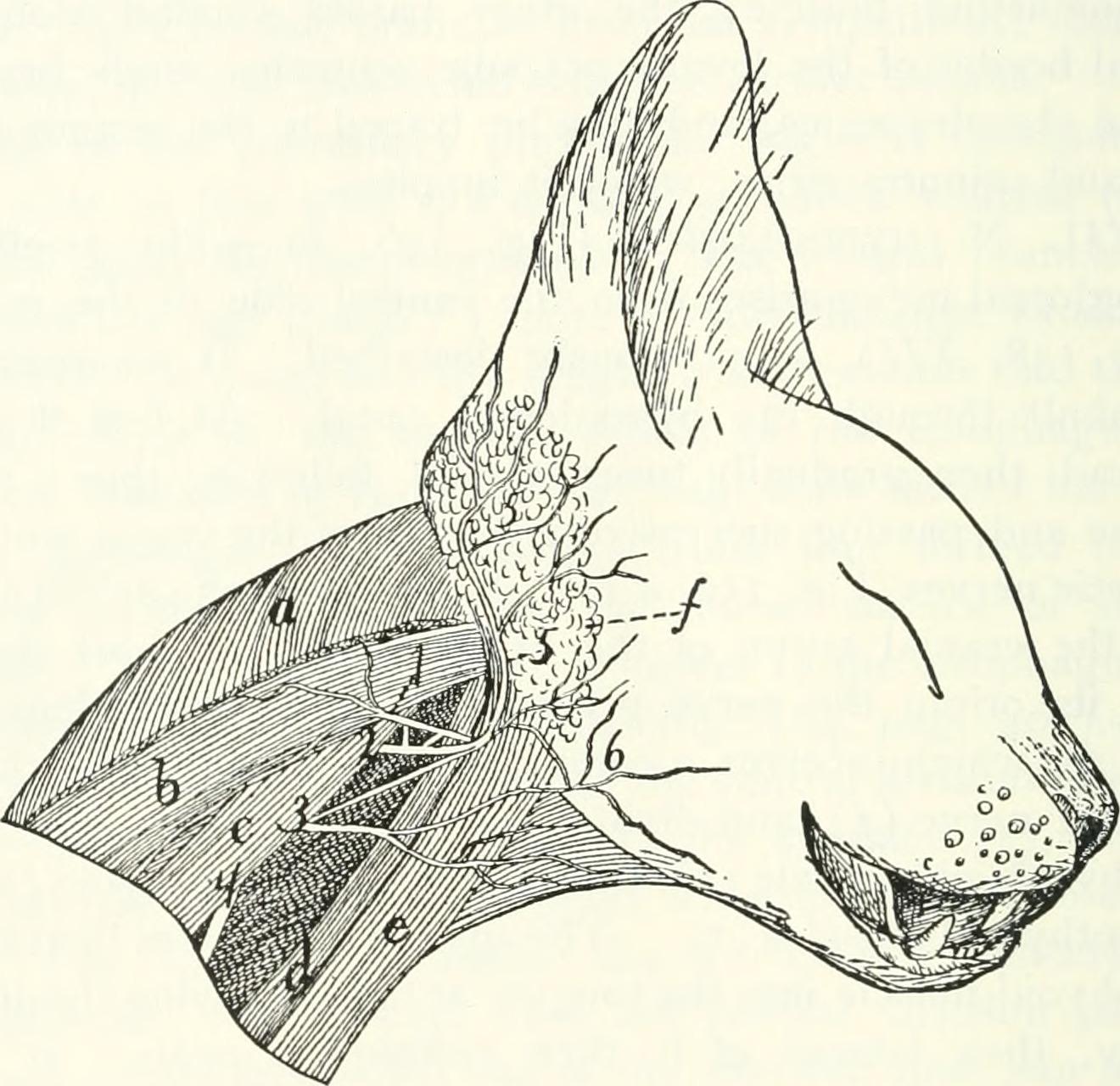 File:Anatomy of the cat (1991) (18167751726).jpg - Wikimedia Commons