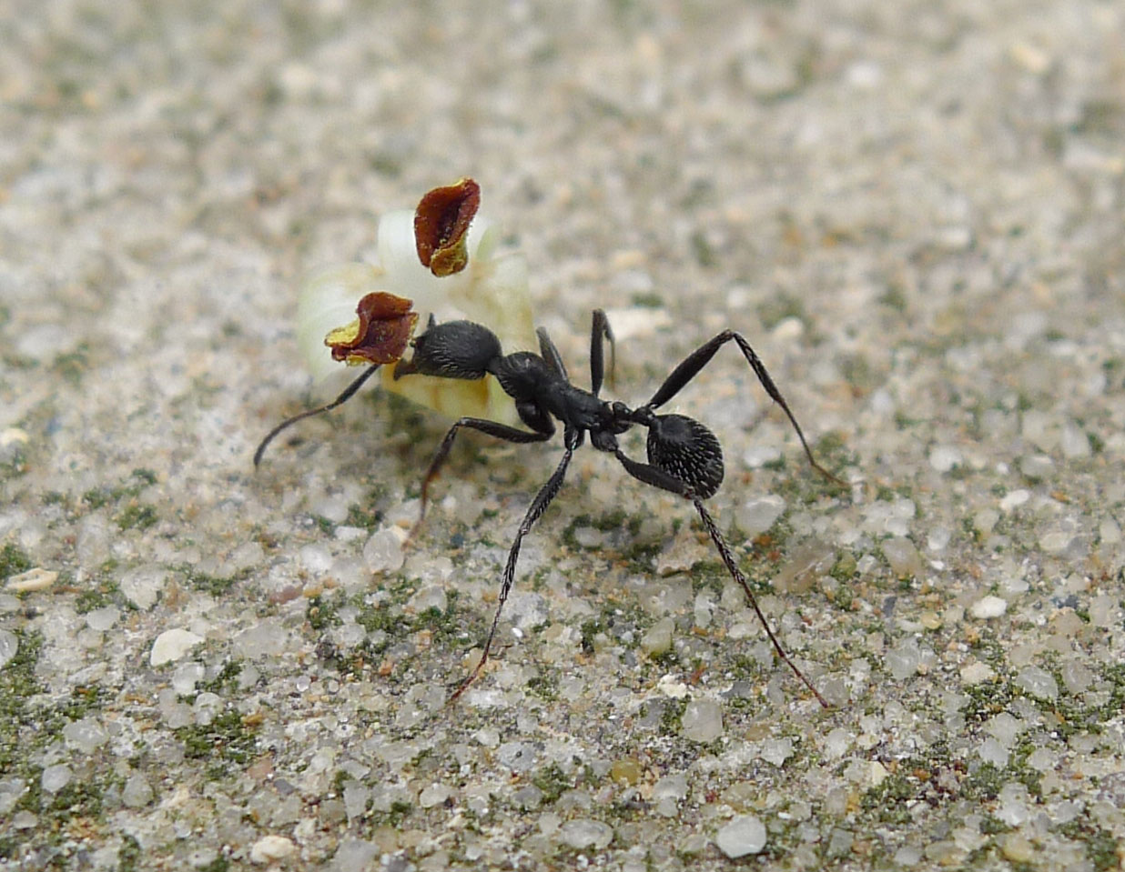 Aphaenogaster_senilis_%28_or_close_relative%29_%2831625740770%29.jpg