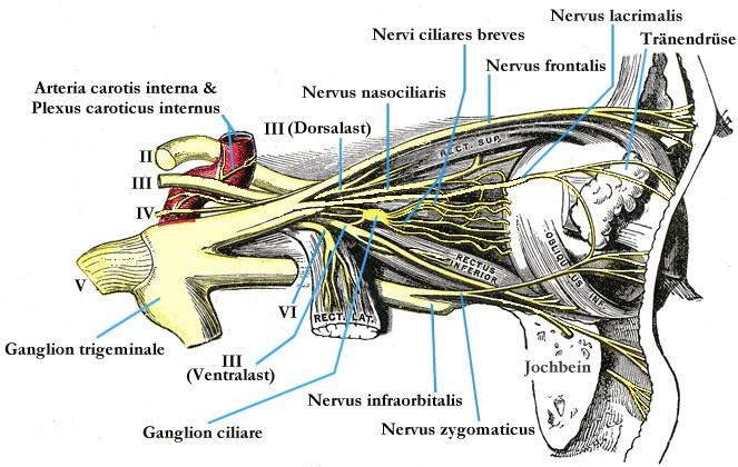 Nervus abducens – Wikipedia