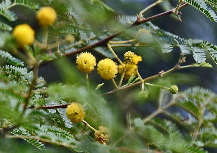 പ്രമാണം:Babool (Acacia nilotica) flowers at Hodal W IMG 1163.jpg