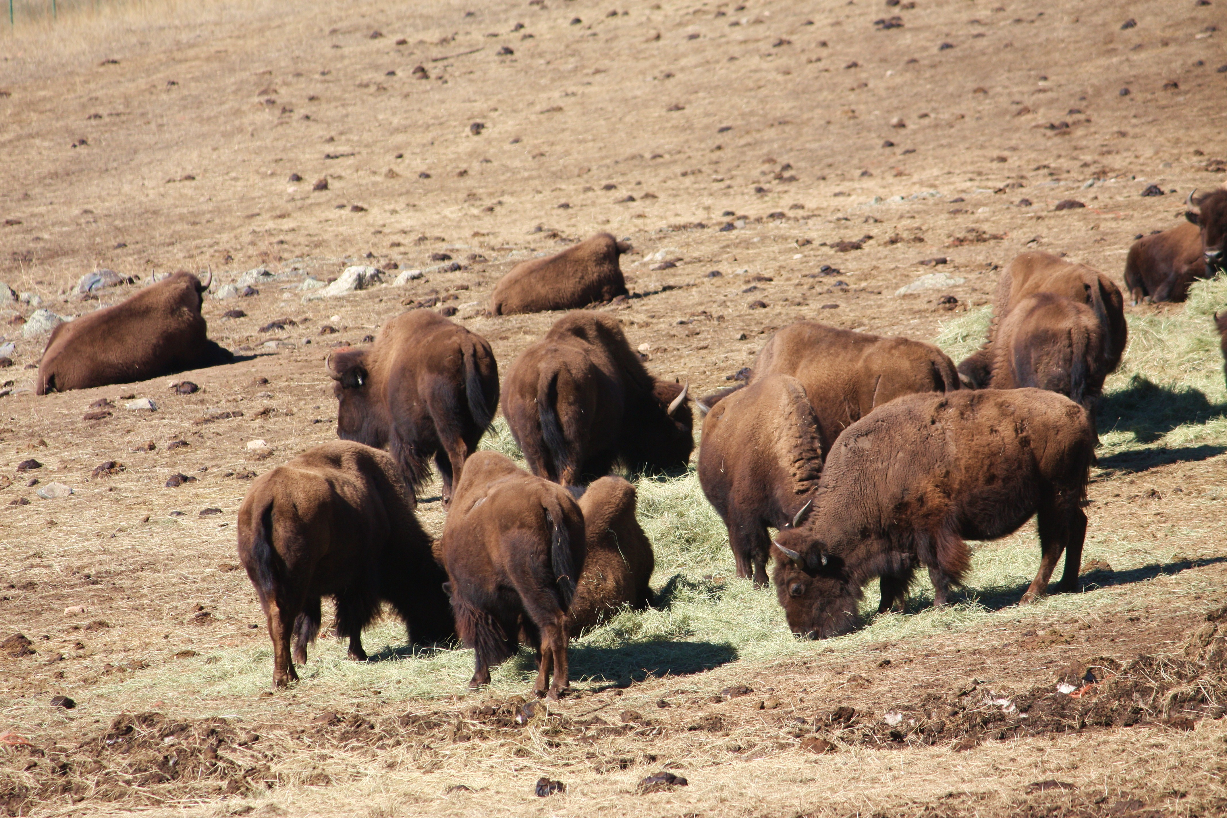 the impact of the herd of bison on my life