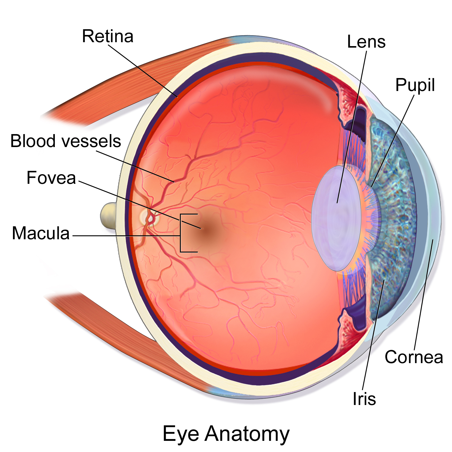 Eye Diagram Macula Labled - DIY Enthusiasts Wiring Diagrams •