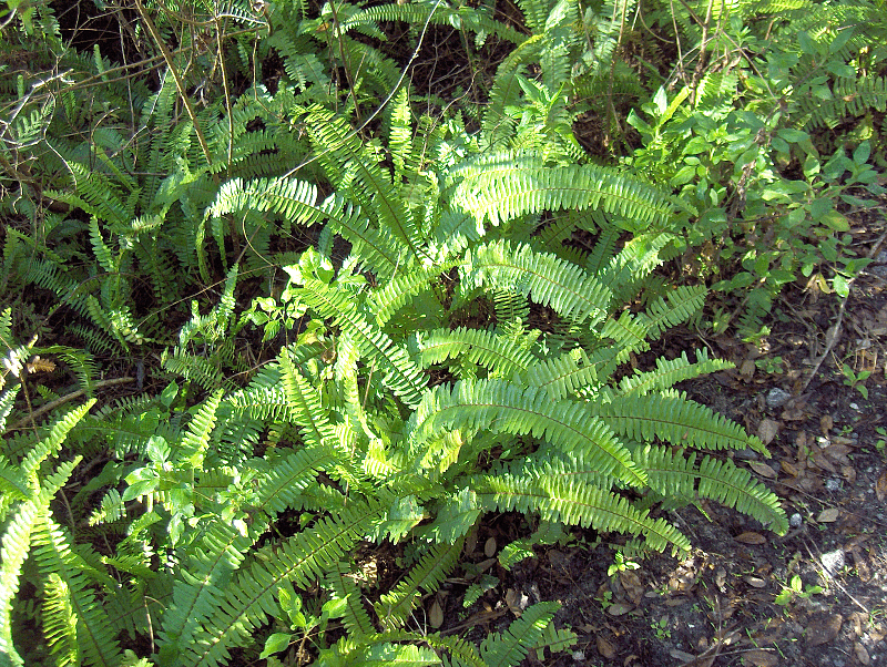 Boston Fern (2873392811).png