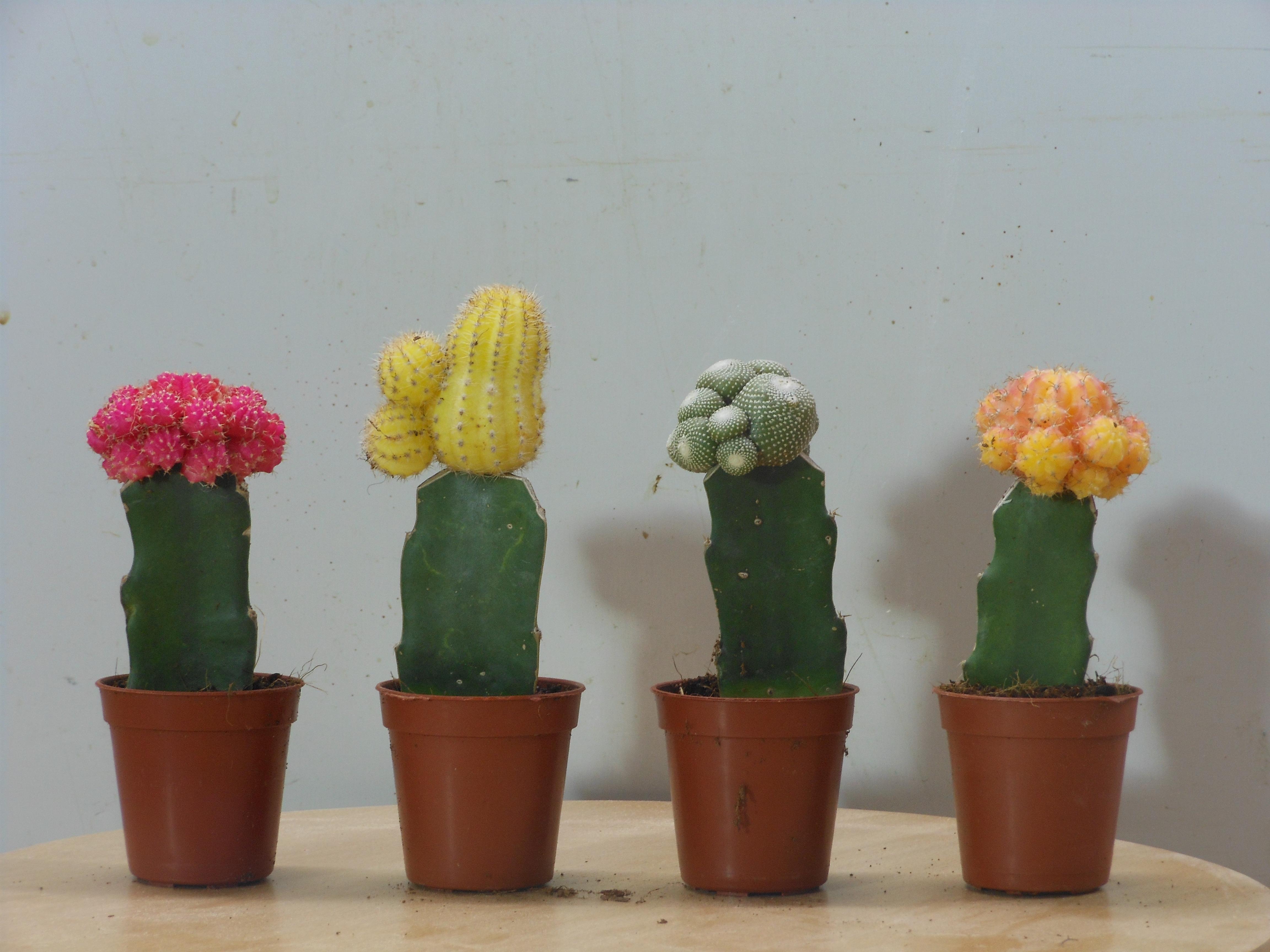 File cactus wikimedia commons - Plantas para decorar interiores ...