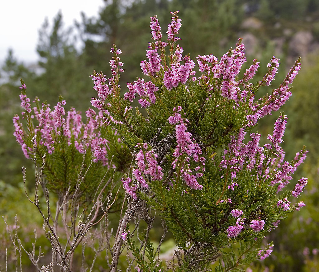 Calluna wikiwand for Calluna vulgaris