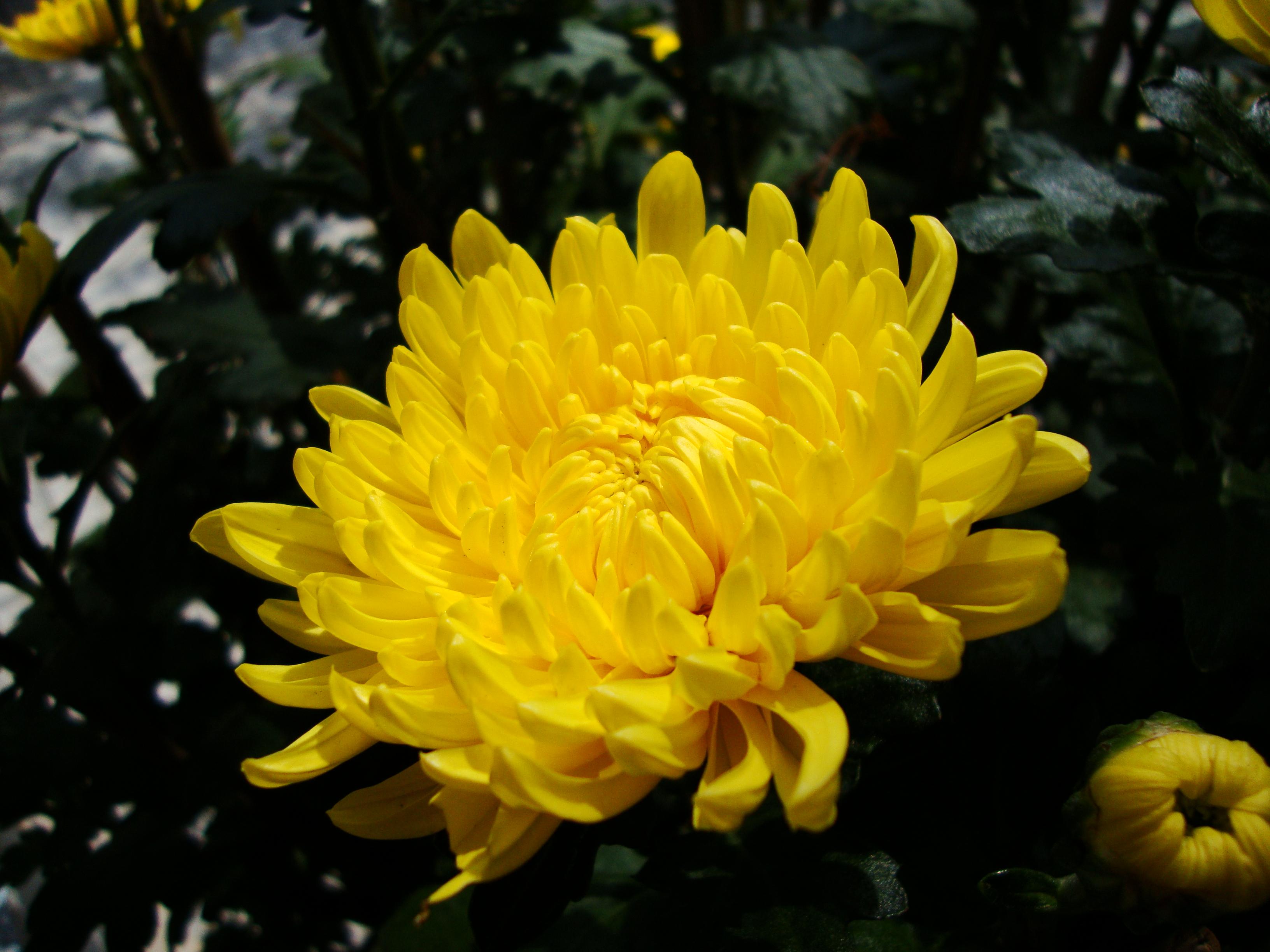 http://upload.wikimedia.org/wikipedia/commons/3/30/Chrysanthemum_morifolium_(2).JPG