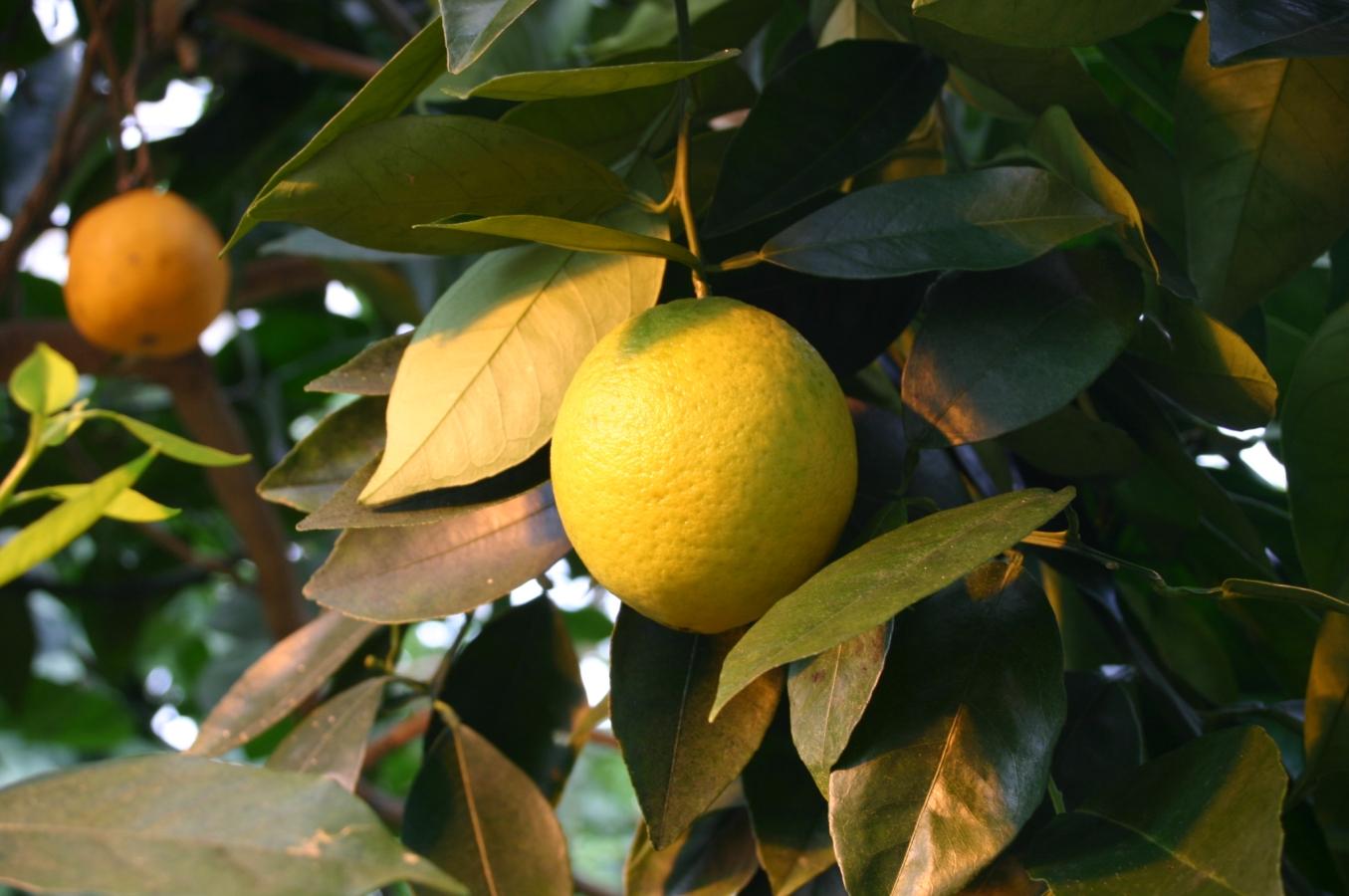 Citrus Sinensis Distribution File:citrus-sinensis-fruit.jpg