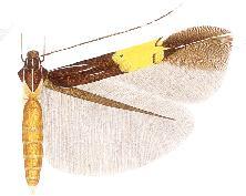 <i>Cosmopterix thelxinoe</i>
