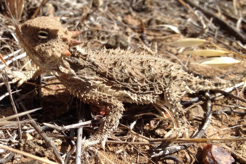 Desert horned lizard - Wikipedia