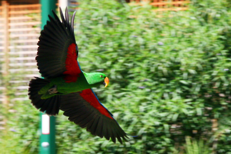 Eclectus_roratus_-parrot_flying