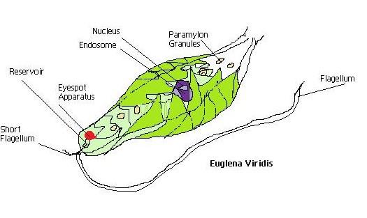 eyespot and chloroplast of euglena. Black Bedroom Furniture Sets. Home Design Ideas
