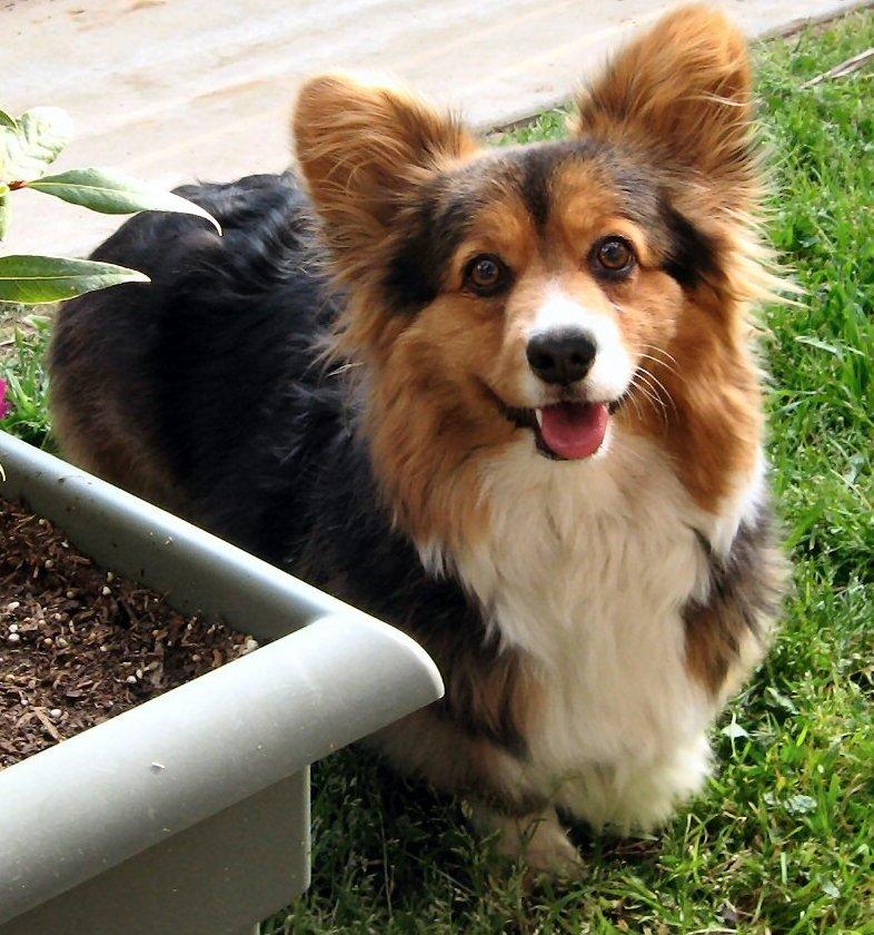 welsh corgi pembroke fluffy dog breeds picture
