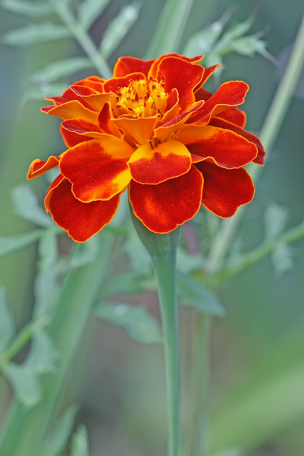Marigold Flower Different Colour Image Wallpaper