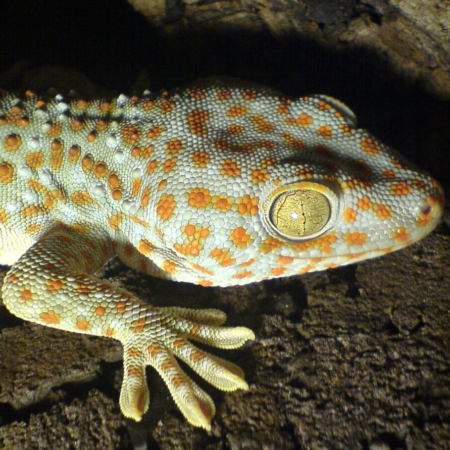 Description Gekko gecko (right side) by Robert Michniewicz.jpg